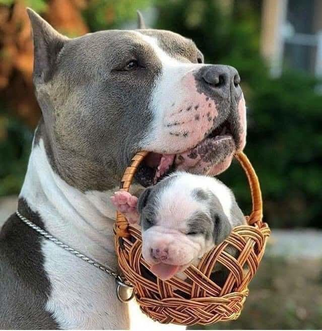 Why Pitbulls Shouldn't Have a Bad Reputation